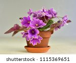 African Violet Plant Variety...