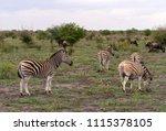 a harem of burchell's zebra  ...   Shutterstock . vector #1115378105