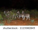 seen at night  a harem of...   Shutterstock . vector #1115382845