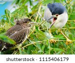 black crowned night heron ... | Shutterstock . vector #1115406179