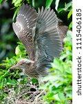 black crowned night heron ... | Shutterstock . vector #1115406185