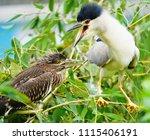 black crowned night heron ... | Shutterstock . vector #1115406191