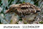 black crowned night heron ... | Shutterstock . vector #1115406209