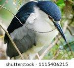 black crowned night heron ... | Shutterstock . vector #1115406215
