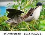 black crowned night heron ... | Shutterstock . vector #1115406221