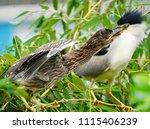 black crowned night heron ... | Shutterstock . vector #1115406239