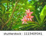 pink flower frangipani. ... | Shutterstock . vector #1115409341