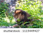 a male lion . portrait lion... | Shutterstock . vector #1115449427