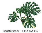 variegated plant leaves of... | Shutterstock . vector #1115465117