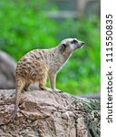 Portrait Of A Meerkat Standing...