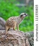 Portrait Of A Meerkat Standing...