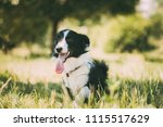funny small mixed breed dog... | Shutterstock . vector #1115517629