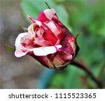 single marble rose | Shutterstock . vector #1115523365