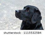 A Portrait Of A Young Labrador...