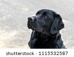 a portrait of a young labrador... | Shutterstock . vector #1115532587