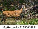 marsh deer blastocerus...   Shutterstock . vector #1115546375