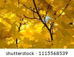 golden maple leaves exhibiting... | Shutterstock . vector #1115568539