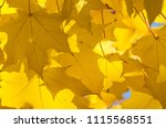 golden maple leaves exhibiting... | Shutterstock . vector #1115568551