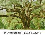 Massive Moss Draped Live Oak...
