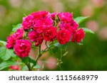 Stock photo beautiful red roses bush in garden at summer day 1115668979