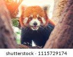 red panda  firefox or lesser... | Shutterstock . vector #1115729174