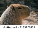 the capybara is the largest... | Shutterstock . vector #1115729885