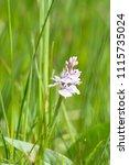 Dactylorhiza Maculata  Heath...