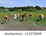 Herd Of Cattle Running On A...