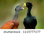 great curassow  crax rubra  big ... | Shutterstock . vector #1115777177