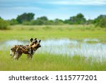 african wild dog  lycaon pictus ... | Shutterstock . vector #1115777201