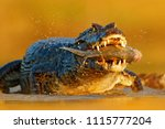 Yacare Caiman  Crocodile With...