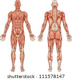 anatomy of male muscular system ... | Shutterstock .eps vector #111578147