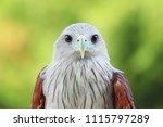 the brahminy kite on nature... | Shutterstock . vector #1115797289