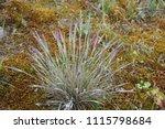 Corynephorus Canescens  A Plan...