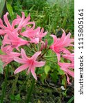 Small photo of Amarine Belladonna Pink Hardy Amaryllis Hybrid