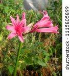 Small photo of Amarine Amaryllis Hybrid Pink Flower