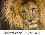 Portrait Of Male Lion Staring...