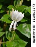 Small photo of Japanese honeysuckle flowers - Latin name - Lonicera japonica