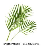 yellow palm leaves  dypsis... | Shutterstock . vector #1115827841