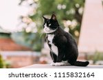 gorgeous black and white cat... | Shutterstock . vector #1115832164
