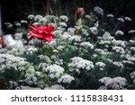 a single red rose amongst white ... | Shutterstock . vector #1115838431