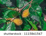 foliage and nuts of common... | Shutterstock . vector #1115861567