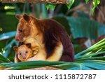Beautiful Tree Kangaroo With...