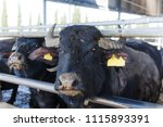 the buffalos in a farm in italy ... | Shutterstock . vector #1115893391