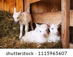 White And Cute Baby Goats In A...