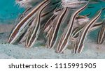 juvenile striped catfish eating ... | Shutterstock . vector #1115991905