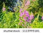 willow herb flower  ivan tea ... | Shutterstock . vector #1115995181