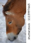 przewalski's horse or...   Shutterstock . vector #1115997665