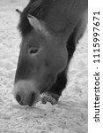 przewalski's horse or...   Shutterstock . vector #1115997671