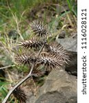 Small photo of Fruits of Noogoora burr, Xanthium occidentale